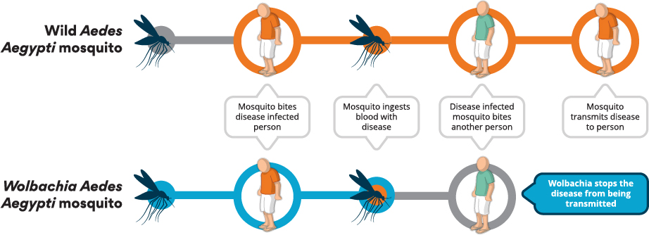 How mosquito-borne diseases are transmitted and how Wolbachia blocks the transmission